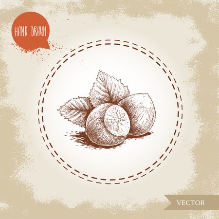 hand drawn sketch style hazelnut group. Whole nuts with leaves. Eco forest nut filbert. Vector illustration Isolated on old background.