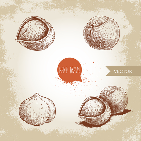 Hazelnuts set. Whole, peeled, sigles and group. Hand drawn sketch style illustrations collection. Vector drawings. Çizim