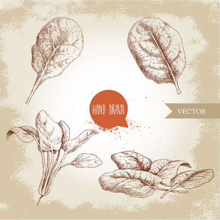 Hand drawn sketch style spinach leaves set. Singles, batch and bunch. Organic diet food vector illustration isolated on old background. Farm fresh herbal product.