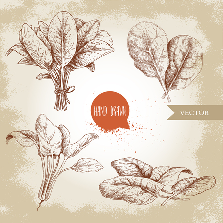Hand drawn sketch style spinach leaves set. Groups, batch and bunch. Organic diet food vector illustration isolated on old background. Farm fresh herbal product.