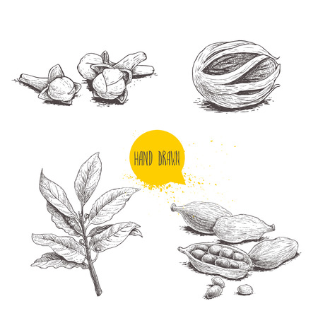 Hand drawn sketch spices set. Bay leaves branch, nutmeg fruit, cardamoms and cloves. Herbs, condiments and spices vector illustration isolated on white background.