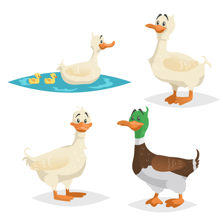 Cute ducks set. Standing, swimming different poses farm and wild birds collection. Adult ducks female and male. Ducklings swim with mum. Cartoon flat design vector illustrations.