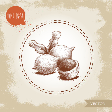 Peeled macadamia pericarp nuts composition with leaves. Hand drawn sketch style vector illustration isolated on retro background. Botanical drawing. Australian nut. Best for food and cosmetics with oi