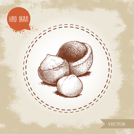 Peeled macadamia nut seed and with shell. Hand drawn sketch style vector illustration isolated on retro background. Botanical drawing. Australian nut. Best for food and cosmetics with oil designs. Illustration