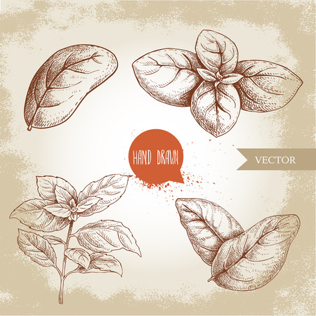 Basil leaves set. Hand drawn sketch style drawing of culinary herbs. Single and group. Aromatherapy and botanical vector illustrations isolated on retro background. Standard-Bild - 123146622