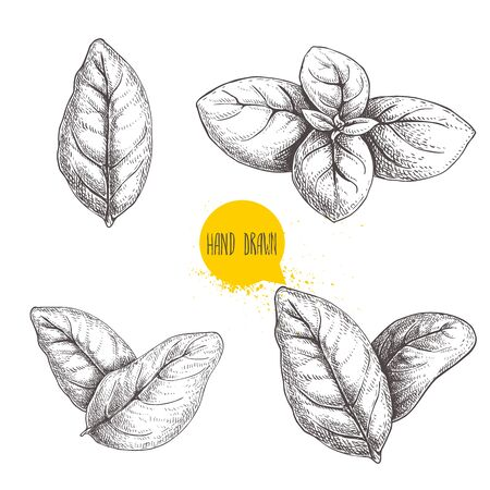 Hand drawn sketch style basil leaves set. Collection of culinary and cooking spicy ingredients. Herbal engraved style illustration isolated on white background.
