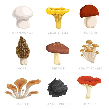 Edible mushrooms set. Cartoon flat design collection. Champignon, chanterelle, porcini, morel, shiitake, honey agaric, oysters, black truffle, russule. Vector illustrations  with signs.  イラスト・ベクター素材
