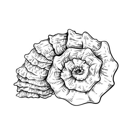 Sea shell. Snail looking conch. Hand drawn sketch style illustration. Best for summer and beach holidays designs. Vector drawing isolated on white background.