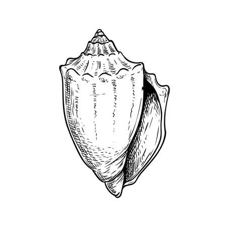 Conus sea shell. Hand drawn sketch style vector drawing. Isolated on white background. Retro design. Vector illustration.