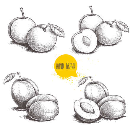 Different plums sketch set. Hand drawn illustration of ripe juicy plums and mirabelle plums. Whole and half fruit groups. Organic food vector drawings isolated on white background. 일러스트