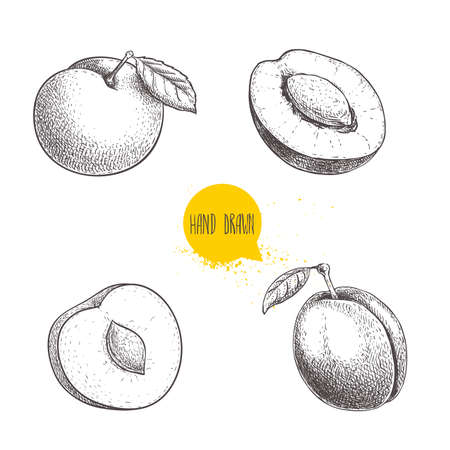 Different plums sketch set. Hand drawn illustration of ripe juicy plums and mirabelle plums. Whole and half with bones. Organic fruit vector drawings isolated on white background. Stock Illustratie