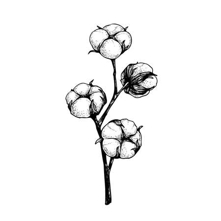 Cotton flower branch with fluffy buds. Hand drawn sketch style vector illustration of natural eco cotton. Vintage engraved design. Botanical art isolated on white background.