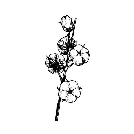 Cotton flower branch. Hand drawn sketch style vector illustration of natural eco cotton. Vintage engraved design. Botanical art isolated on white background.
