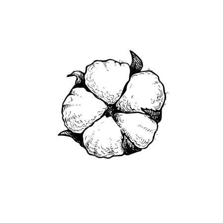 Cotton flower bud. Hand drawn sketch style vector illustration of natural eco cotton. Vintage engraved design. Botanical art isolated on white background.