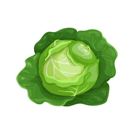 Cabbage with big leaves in cartoon trendy style. Healthy food. Farm fresh veggie just from the garden. Organic eco vegetable for salads. Vector illustration isolated on white background.