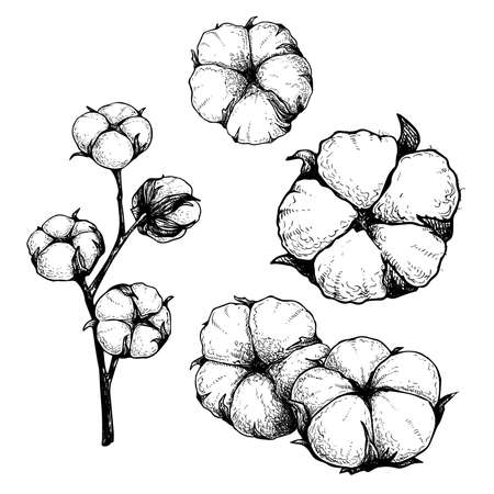 Cotton flowers set. Branch and buds. Collection of hand drawn sketch style vector illustrations. Natural eco cotton. Vintage engraved design. Botanical art isolated on white background.