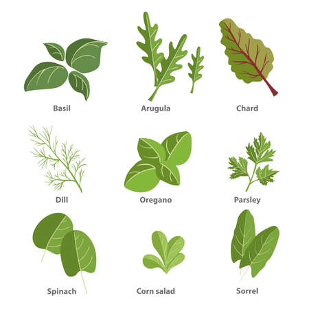 Popular culinary herbs set. Basil leaves, arugula, chard, dill, oregano, parsley, spinach, corn salad, sorrel. Vector simple design illustrations isolated on white background.
