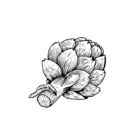 Artichoke sketch style. Hand drawn illustration of eco farm fresh product. Detailed drawing. Herbs vintage style illustration. Vector isolated on white background.