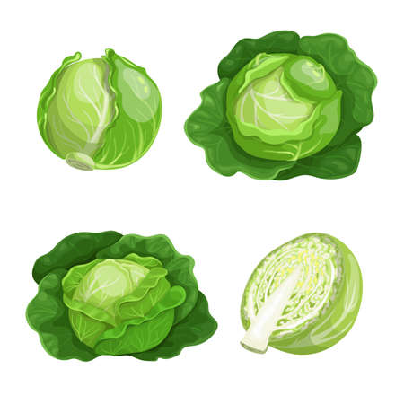 Cabbages set. Vector illustrations of ripe fresh farm vegetables. Organic healthy food collection. Single and in the groups. Whole and halved. Big leaves veggies. Isolated on white background.