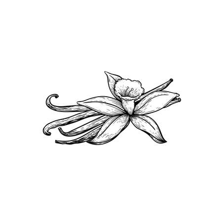 Vanilla sticks and flower. Sketch style hand drawn design. Aroma spices drawing. Vector illustration isolated on white background. 向量圖像