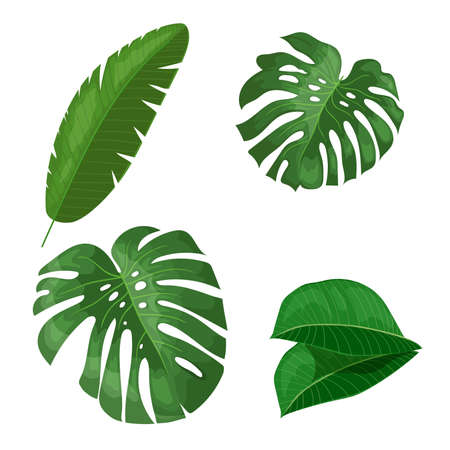 Tropical leaves set. Banana, monstera and others leaves. Exotic foliage, nature botanical decorative collection. Vector illustration isolated on white background.