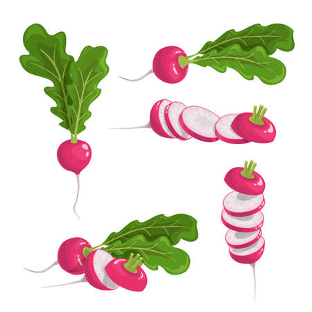 Red radish set. Fresh farm vegetables collection. Whole single, group and sliced roots. Vector vegetable illustrations on white background.