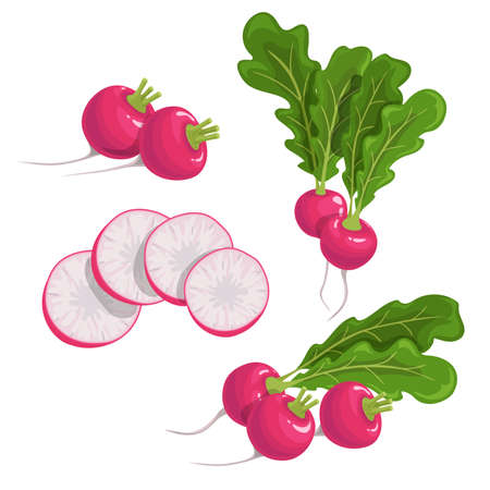 Red radish set. Fresh farm vegetables collection. Whole, group and sliced roots. Vector vegetable illustrations on white background.
