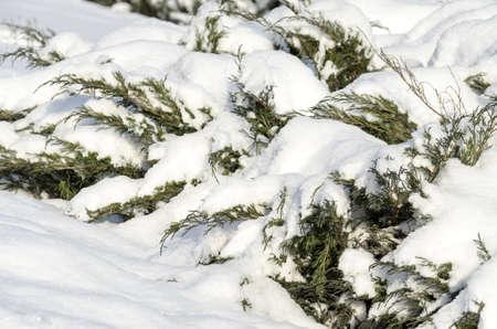 a juniper: Snowcovered enebro Foto de archivo