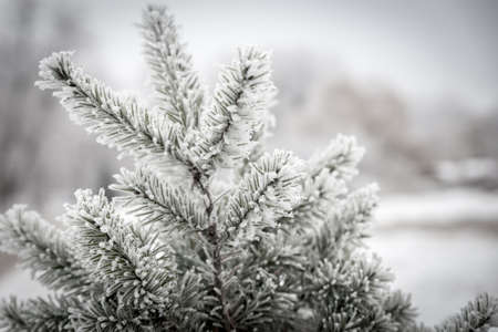 Frosted tree photo