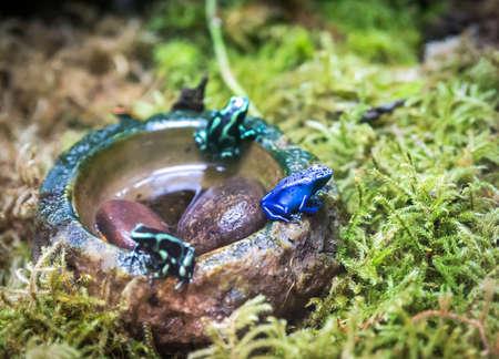 rana venenosa: rana venenosa Azul