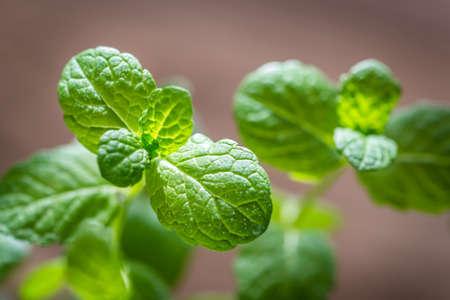 sprig: Sprig of mint