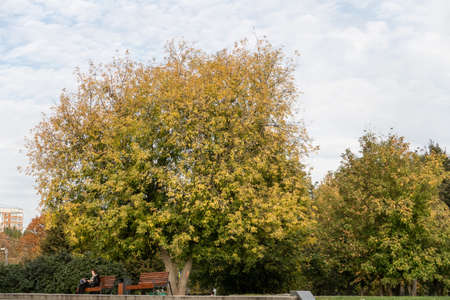 Tree with yellowed leaves on the boulevard, bench, greenery