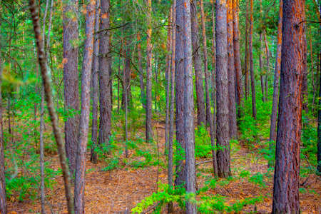 cedar forest and taiga in Siberia Russia