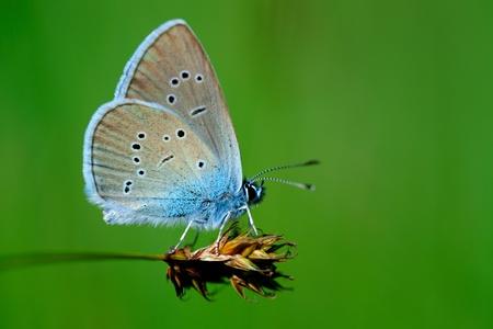 cupido: Butterfly Cupido minimus