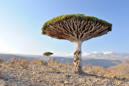 Yemen  Socotra island  Dragon tree in Dixam Stock Photo