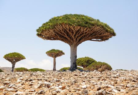 yemen: Yemen  Socotra island  Dragon tree  Dracaena cinnabari