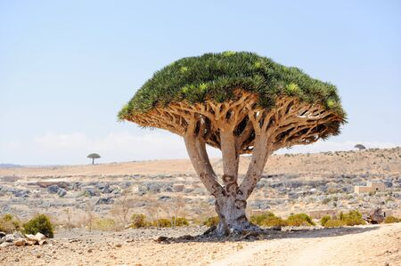 ドラゴン ツリー ドラセナ cinnabari イエメン ソコトラ島。 写真素材