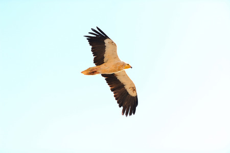beak vulture: Flying Egyptian Vulture Neophron percnopterus in Socotra island, Yemen. Stock Photo
