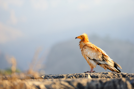 Sitting Egyptian Vulture (Neophron percnopterus) in Socotra island, Yemen.