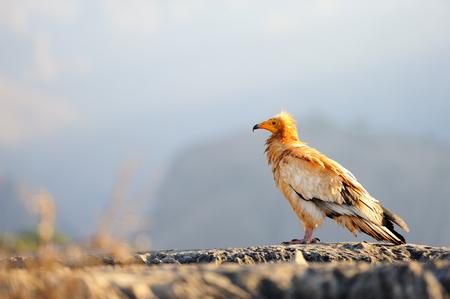 Sitzender ägyptischer Geier (Neophron percnopterus) auf der Insel Sokotra, Jemen.