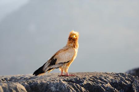 Sitting Egyptian Vulture (Neophron percnopterus) in Socotra island, Yemen.