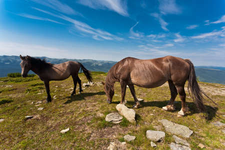 Beautiful stallions on the green meadow, with deep blue sky. photo