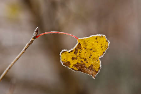 Frozen yellow autumn leaf, on the brown background, macro close-up. photo