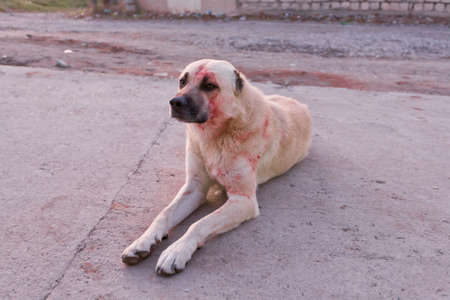 Dog full of blood after the fight. Reklamní fotografie