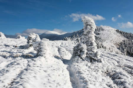 Spruce covered with fresh snow in winter mountain. photo