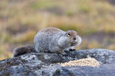 Ground squirrel looking for food in kamchatka, Russia.
