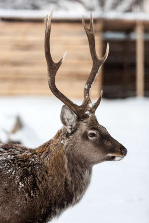 white tail deer: White tail deer portrait on the snow background on the ranch.
