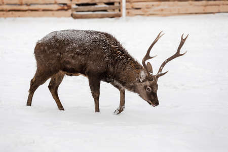 white tail: Wild deer on the snow background, white tail on ranch.