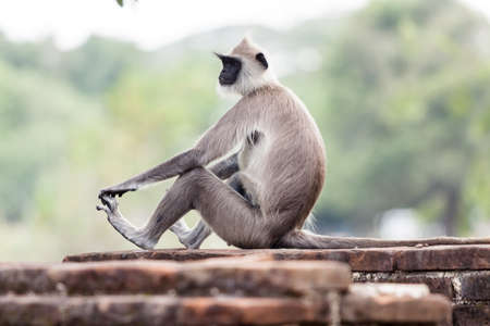 Tufted gray langur monkey in Anuradhapura, Sri Lanka, Asia.