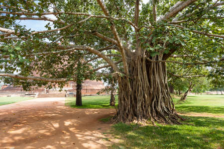 View on the ancient ruins of Jetavana Vihara through the aerial roots of banyan tree, Anuradhapura, Sri Lanka, Asia.